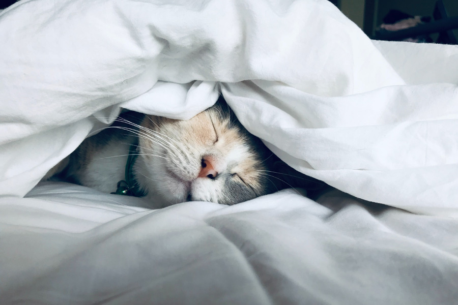 cat sleeping under the doona