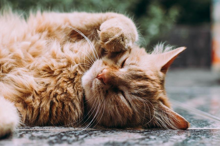 cute persian cat lying outdoors