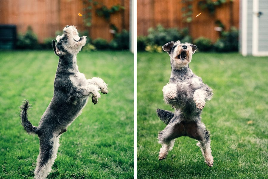 grey dog learning tricks outdoors