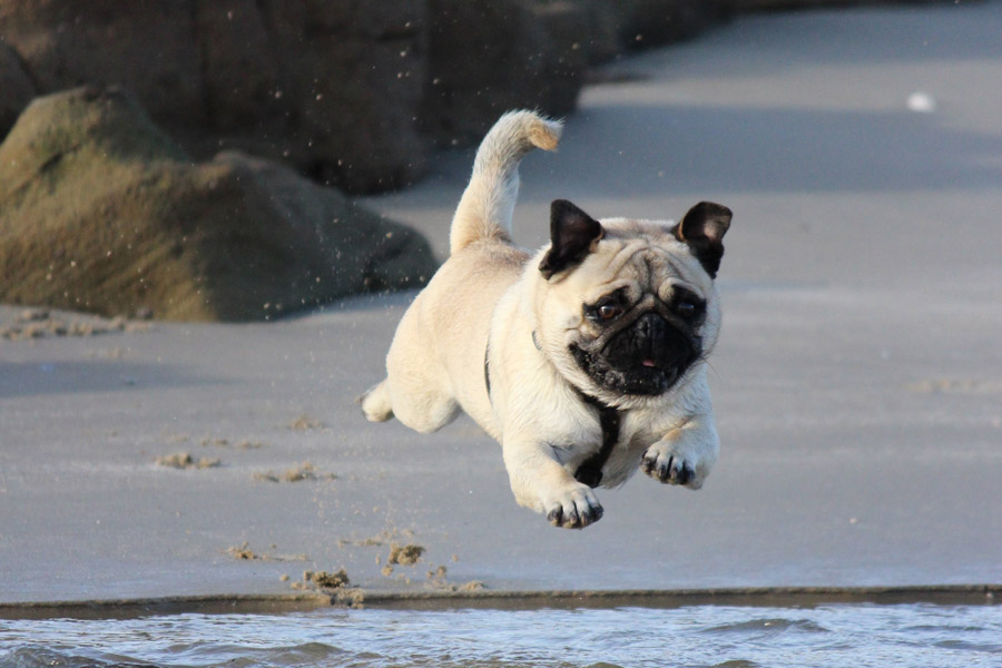 pug jumping in the air