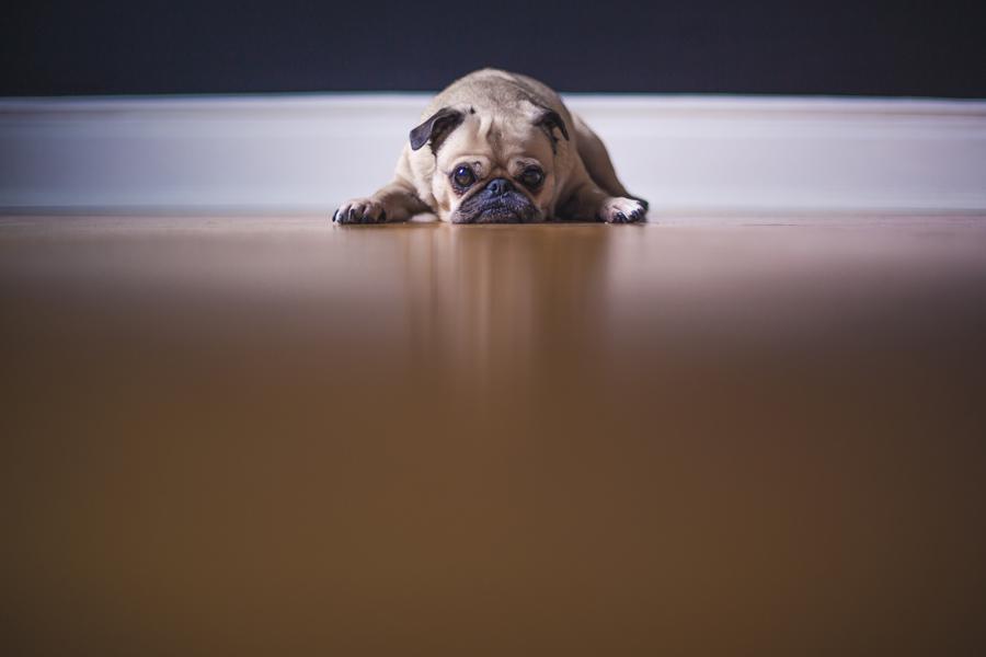 pug looking sad, lying on floor