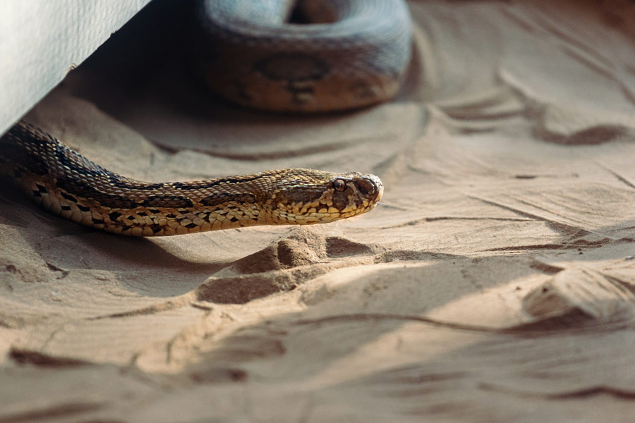 snake in sand, protecting pets from a snake bite