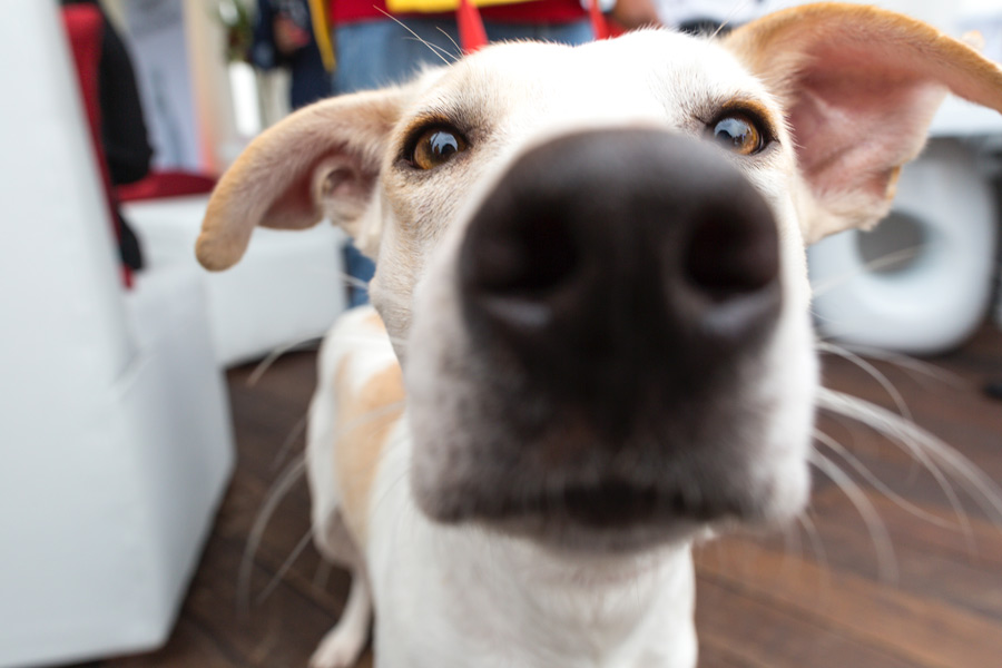 white and tan dog with nose to camera, adopting a pet