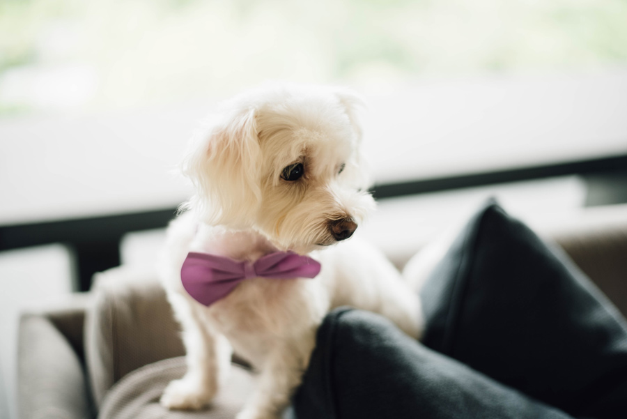 small white dog wearing purple bow-tie, pet in wedding day plans