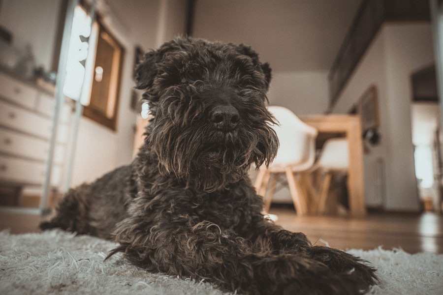 Black Schnauzer sat in kitchen