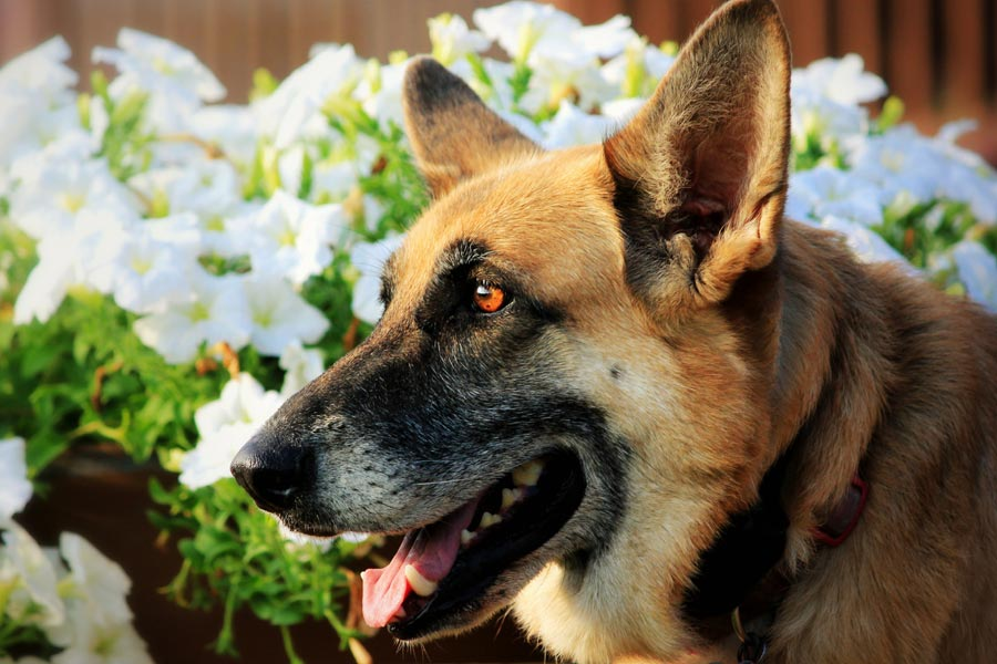 german shepherd outdoors, pet poison in the garden