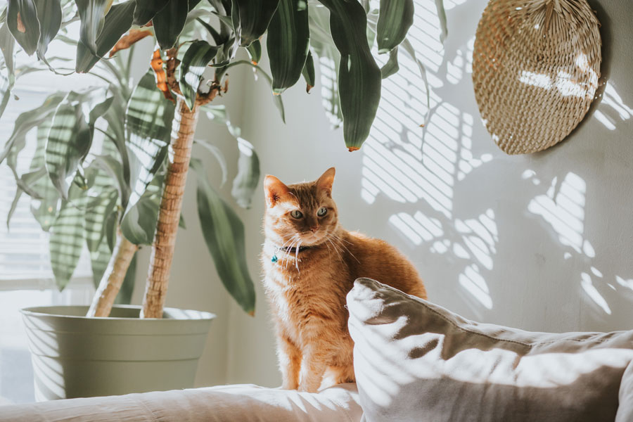 ginger cat sitting on edge of sofa, indoor pet poison
