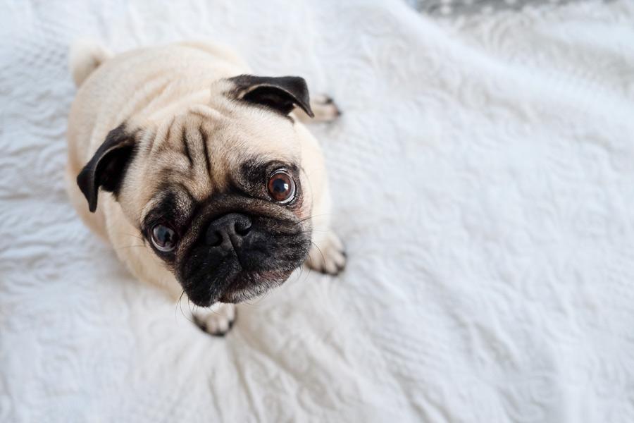 Close up image of pug, pet photography