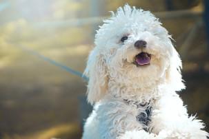 white fluffy dog on lead