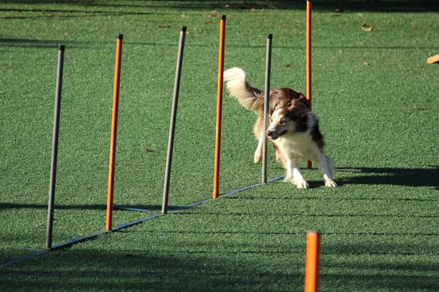 dog agility course, exercising your dog