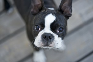 French bulldog, pet apps