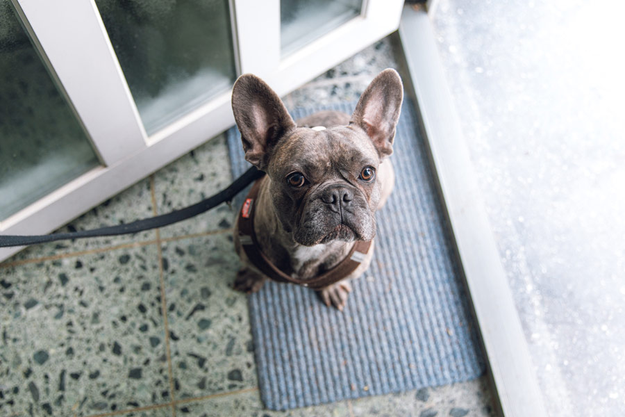 French bulldog with lead on, waiting to be walked