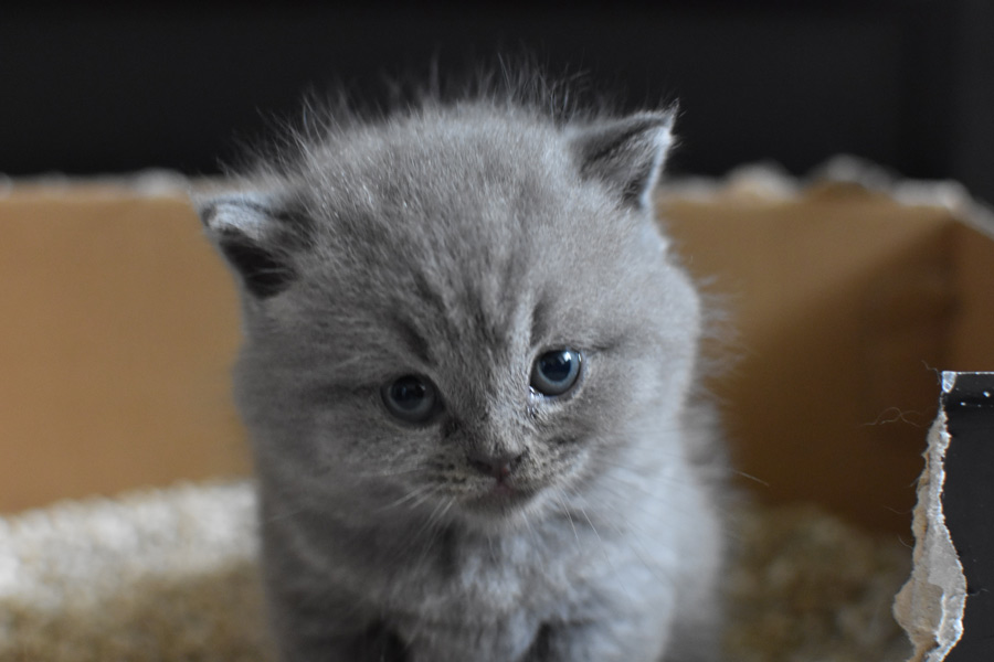 grey kitten sat in litter tray, toilet train your cat