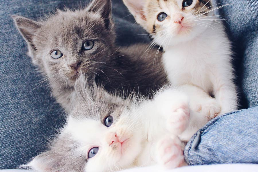 three kittens, how to toilet train your cat