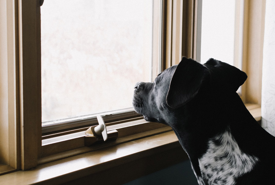 pet separation anxiety, dog looking out of window