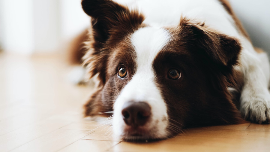border collie looking sad, signs of pet separation anxiety