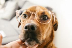 dog wearing glasses, dog's eye health