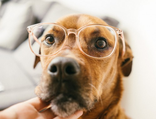 How to take care of your dog's eye health