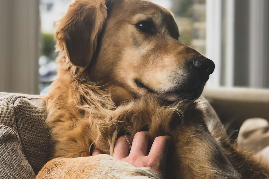 pet owner comforting labrador, keeping pets safe in winter