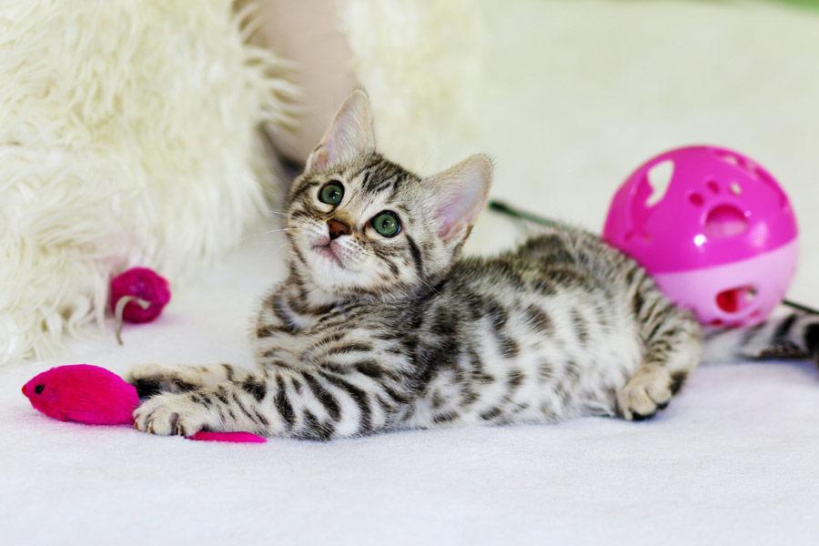 kitten with cat toys