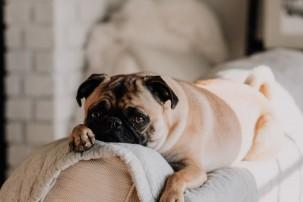pug lying on back of sofa, hiring a pet sitter