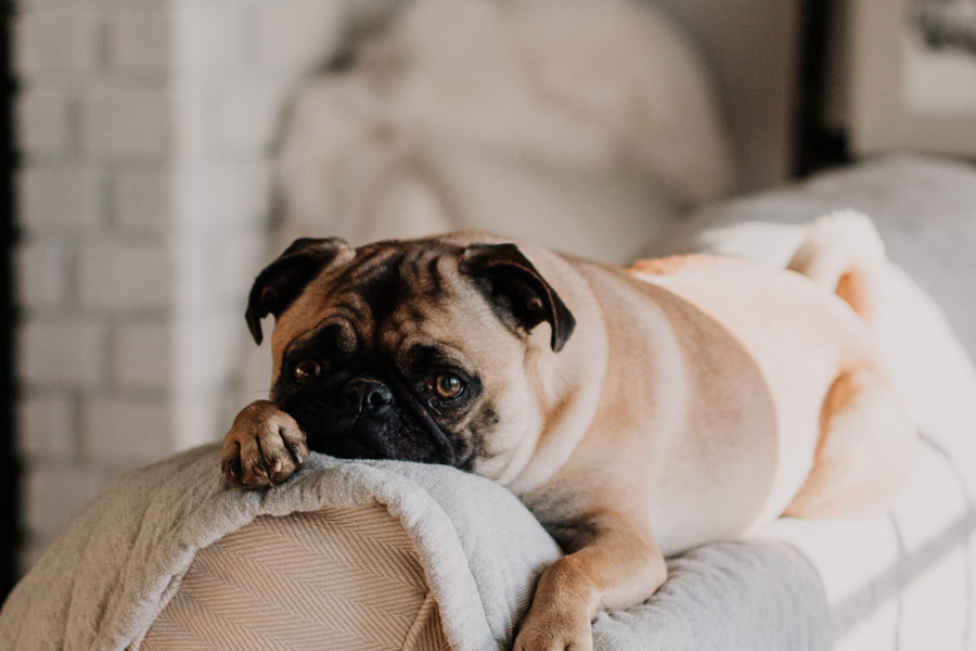 pug lying on back of sofa, hiring a pet sitter