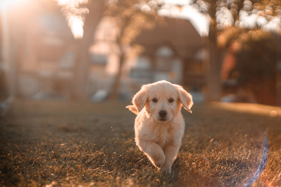 puppy, dog's life expectancy