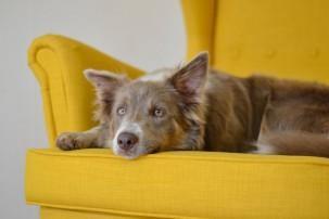 dog lying on yellow sofa looking sad, social fear in dogs
