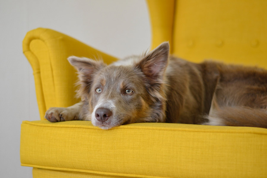 dog lying on yellow sofa looking sad, social fear in dogs